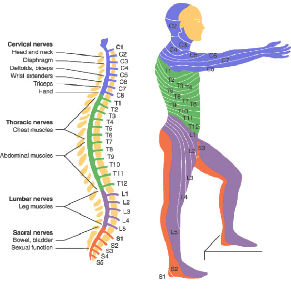 spinal-cord-injury-levels.jpg